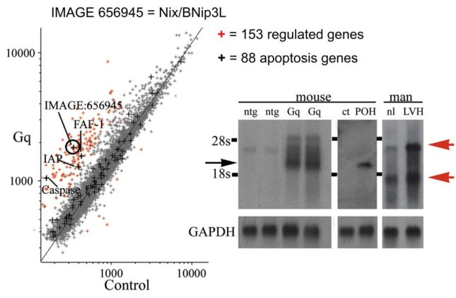 Identification of Nix/BNip3L as a regulated cell death gene in Gq hearts. Left panel, microarray analysis comparing Gq and nontransgenic gene expression. Circle indicates Nix/BNip3L. Right panel, northern blot analysis showing increased expression of multiple Nix/BNip3L transcripts in Gq and pressure overloaded (POH) mouse hearts and in human hypertensive heart (LVH).